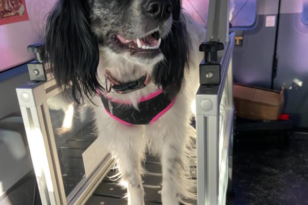Border Collie using mobile dog gym