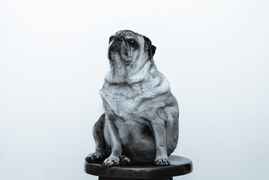 overweight dog posting for a picture