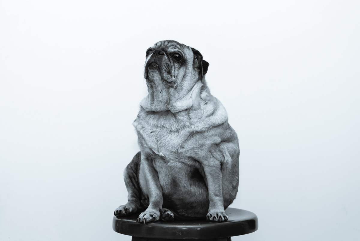 The dangers of obesity in dogs.