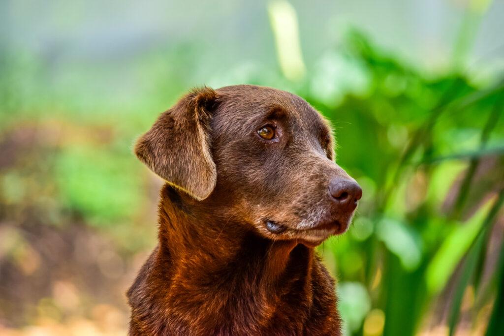 Senior dog brown lab looking to sad
