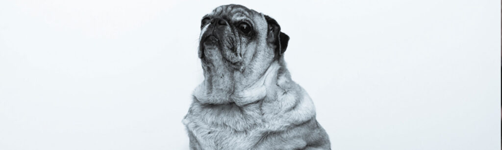 Overweight dog posing looking stoic